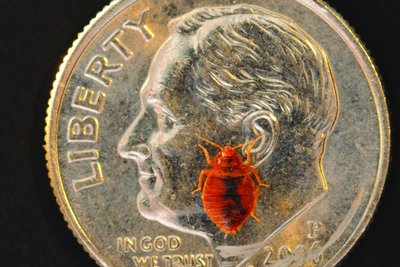 As tiny as they are, bed bugs can be a big problem if they infest a home.