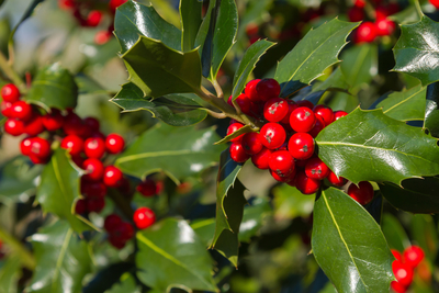 For generations, Americans have decked the halls with boughs of holly because of its beloved shiny leaves and bright red berries.