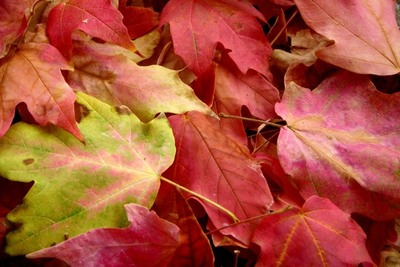Shred leaves and add to the compost pile.