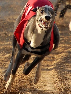 Jacqueline Howard has fostered more than 100 greyhounds and become a trustee for Greyhound Friends of New Jersey.
