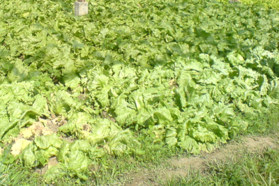 Medium lettucefarm1000x666