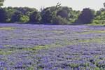 Texas bluebonnets growing wild in a meadow.