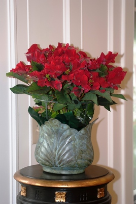 Carousel Dark Red is considered a novelty type poinsttia, offering crinkled bracts borne on strong stiff branches.