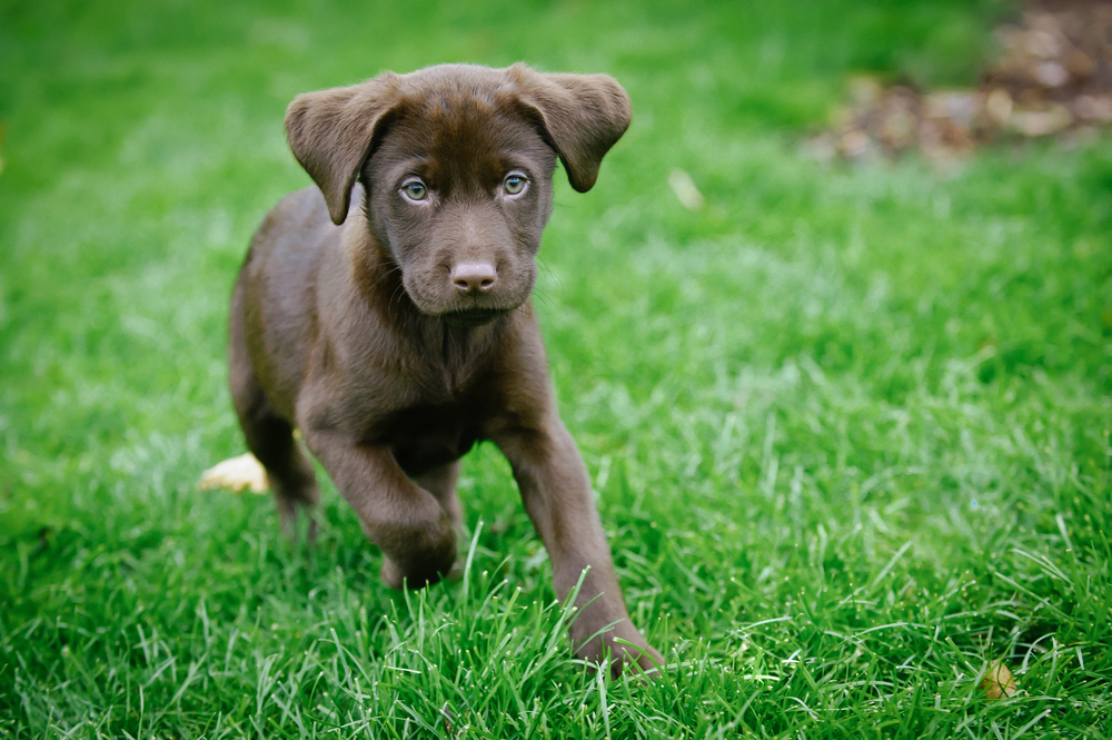 Raffle items include a chocolate lab puppy that was donated by Leigh Marcus of ReMax Associates.