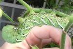 Despite their appearance, hornworms are only a danger to plants.