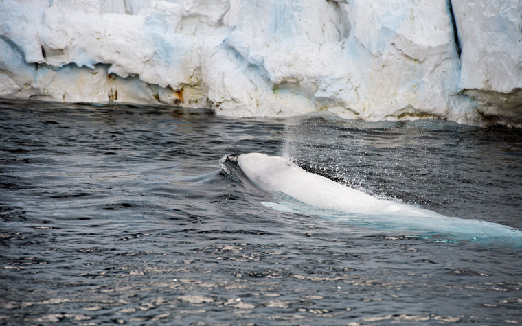 This study aimed to develop a non-invasive means to isolate DNA from beluga whales.