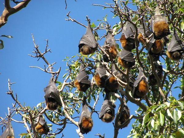 Large bats