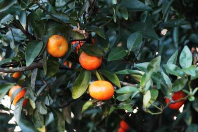 Grow citrus in pots or select cold-hardy varieties for the garden.