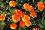 The California poppy's native range extends from Texas to the West Coast.