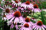 Plant coneflowers in fall for spring color.