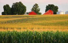 Large cornfield