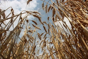 Crops from a year before, like soybeans, canola, or sunflowers, can become weeds for the current season.