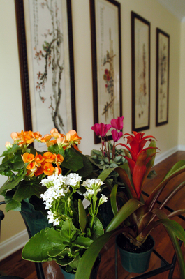 These houseplants can bring color to your home this winter. They are Kalanchoe (white), Begonia (orange), Cyclamen (hot pink) and Bromeliad (red one pictured far right).