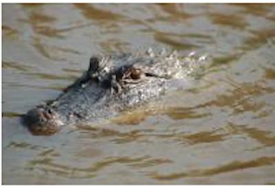 Medium alligator