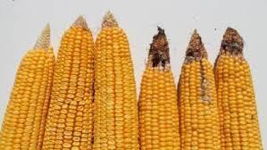 Large corn