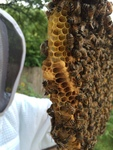 The hard-earned reward for beekeeping is the sweet honeycomb that accompanies it.