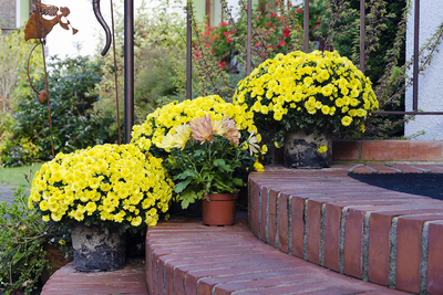 Fall mums in terra cotta pots make for a gorgeous fall yard display.