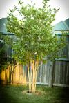 Crepe Myrtle is a great tree to add to your backyard if hyou want to add color to your outdoor space.