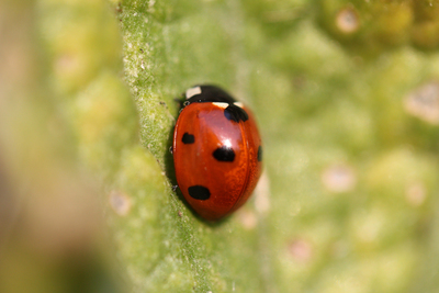 Ladybugs can be effective aphid exterminators in the garden.