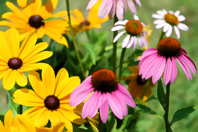 Black-Eyed Susans and purple coneflowers are among two hearty native plant species that thrive in Texas gardens.
