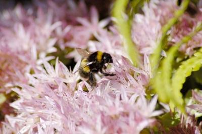 Medium bee 1000x667