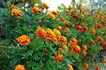 Marigolds provide a colorful border along a garden path.