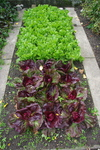 A raised bed with different types of lettuce.