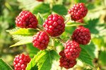 Raspberries may be red, yellow, purple or black.