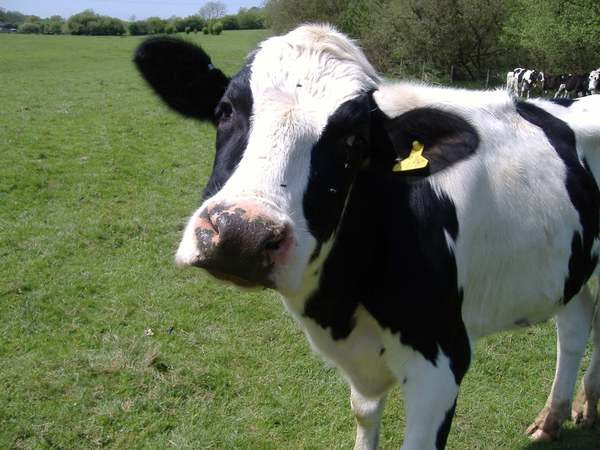 Large cow2