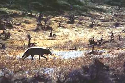 Coyotes will generally begin their hunt near dusk.