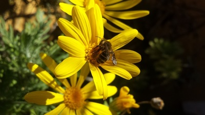 While the lack of bees doesn't necessarily affect food crops in the Austin area – the majority of which are wind pollinated – it can affect the overall health of a flowering garden.