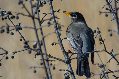 The Austin area is home to the American robin, one of many birds that people can attract to their yards.