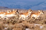 Pronghorn resemble antelope and migrate annually in the western U.S.