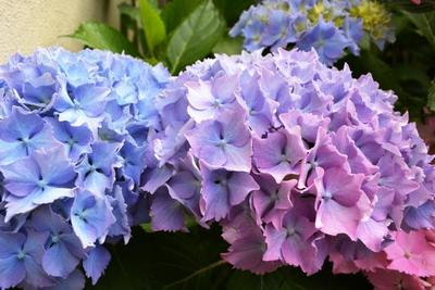 Hydrangea flowers may be blue, pink or white.