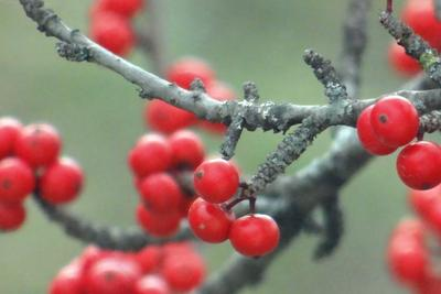 Possumhaw holly berries add visual interest to the winter landscape.