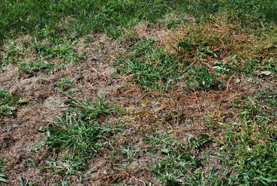 Heavy rains have taken a toll on Austin-area lawns, providing a perfect breeding ground for fungus.