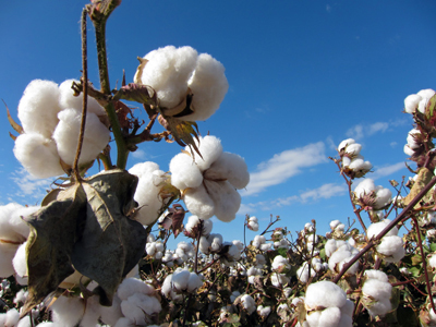 A fungus has been found to be effective in the protection of cotton crops in Mexico.