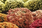 Mums are available in a wide range of colors, from pale yellow to burgundy.