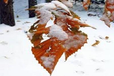 Medium leaf