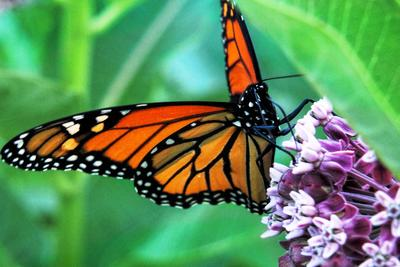 Monarch caterpillars and butterflies feed off Texas milkweeds.