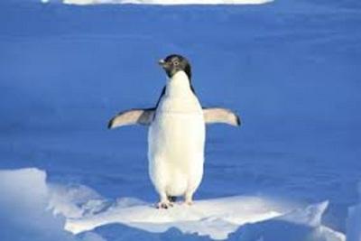 Medium penguin