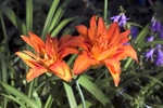 Daylilies are available in many sizes and colors.