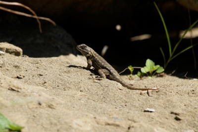 Lizards eat ants and other bugs in the garden.