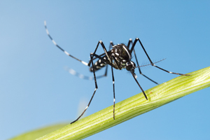 CDC issues report on Brazil's outbreak of mosquito-borne illnesses.