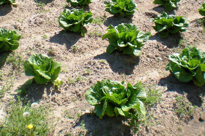 Now is a good time to plant leafy vegetables, such as lettuce.