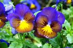 The cheerful faces of pansies brighten the fall garden.
