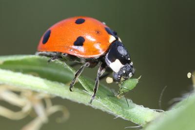 A ladybug snacks on an aphid.