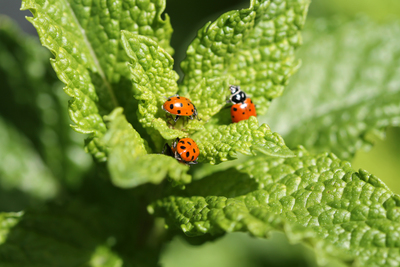 Ladybugs are helpful for gardens, while other less-desirable insects can destroy a garden.