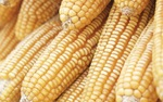 Corn was found approximately 100,000 years ago in Mexico's warm southwestern lowlands.
