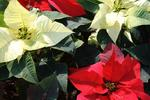 Poinsettias are available with red, pink, white and variegated bracts.